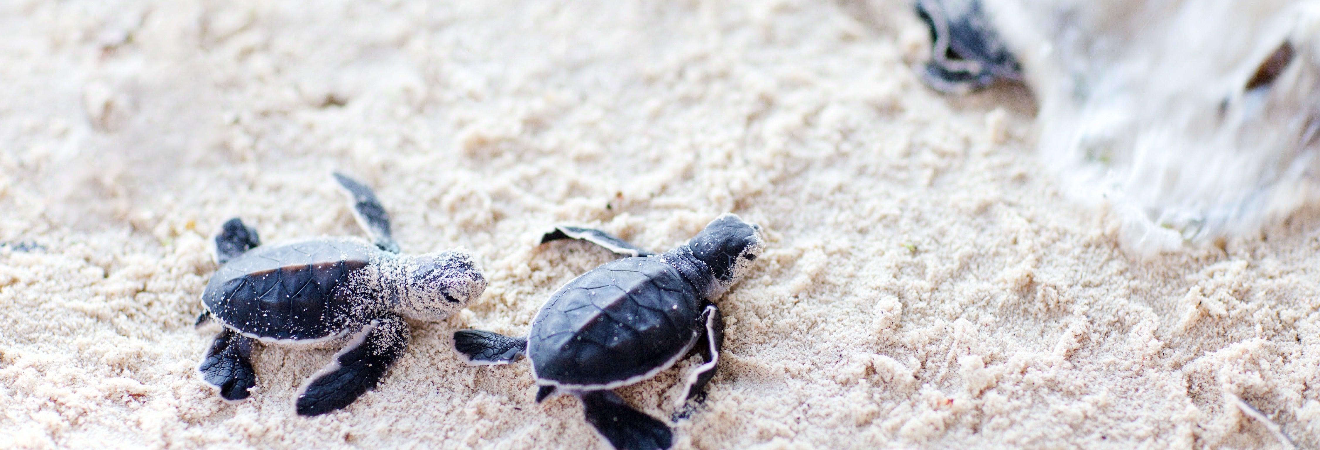 Liberación de tortugas en la laguna de Coyuca