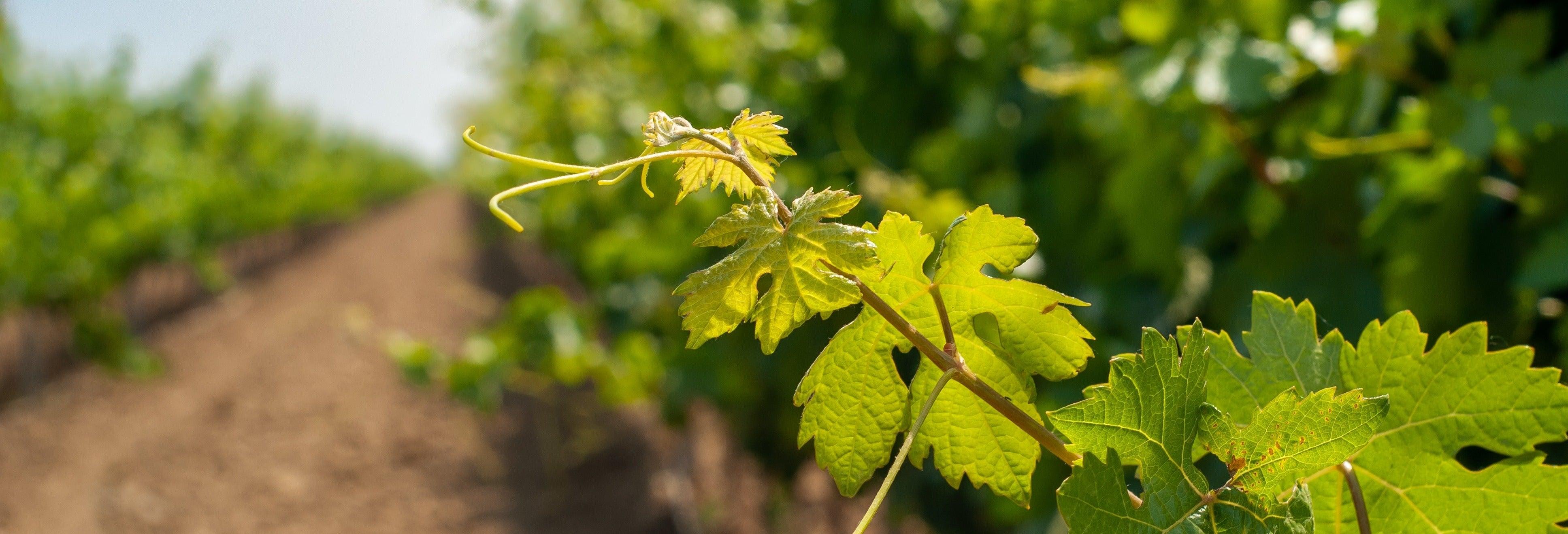 Excursión de viñedos por Aguascalientes