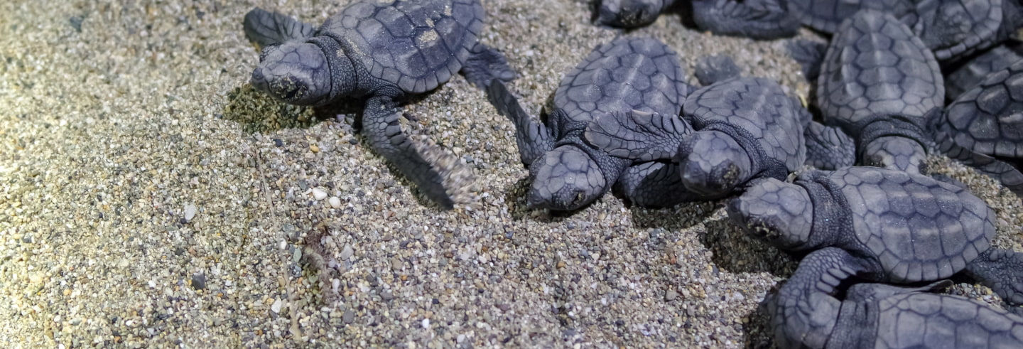 Turtle Hatching Experience