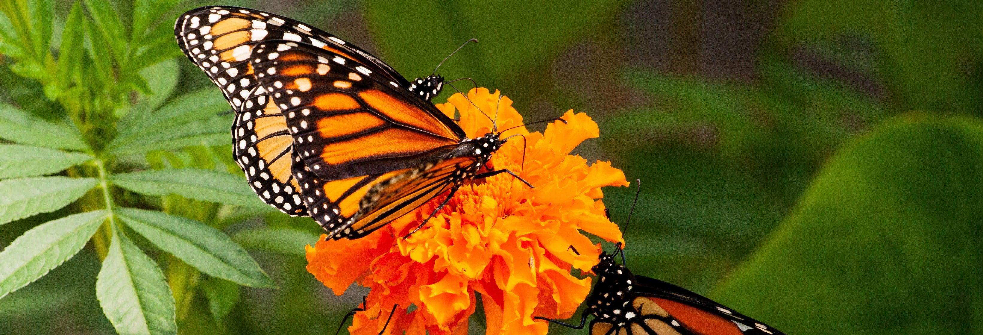 Excursión privada al santuario de mariposas El Rosario