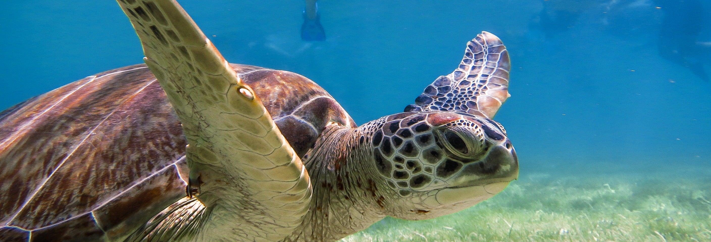 Nage avec des tortues dans la baie d'Akumal