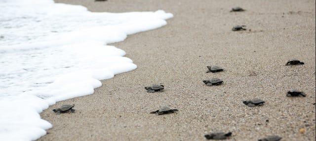 Liberación de tortugas en la playa de Colotepec