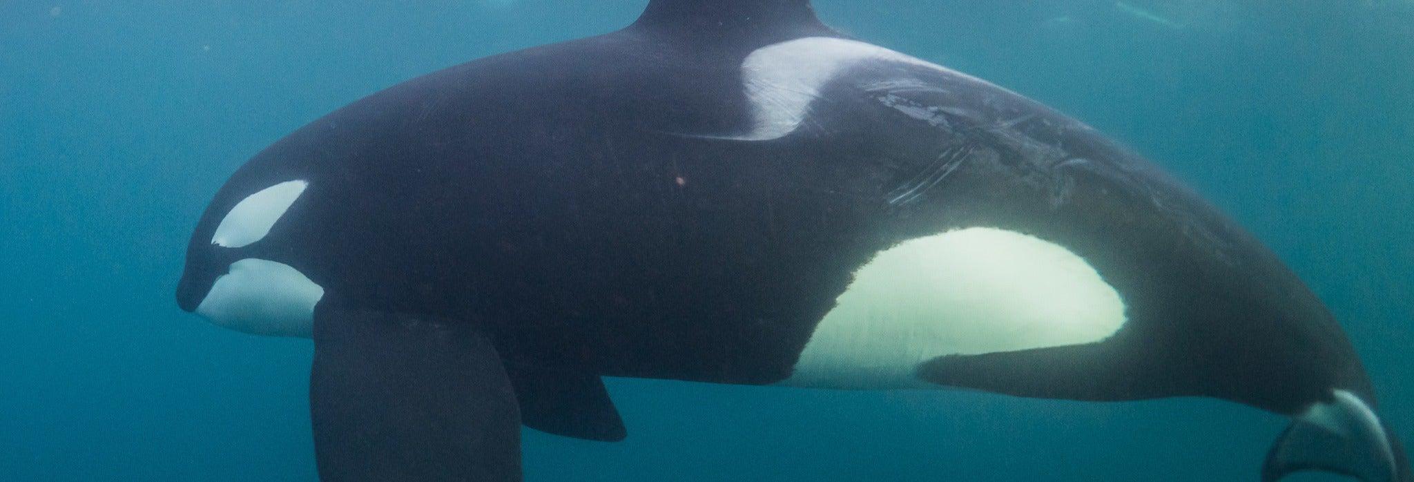 Observation de baleines dans les fjords de Norvège