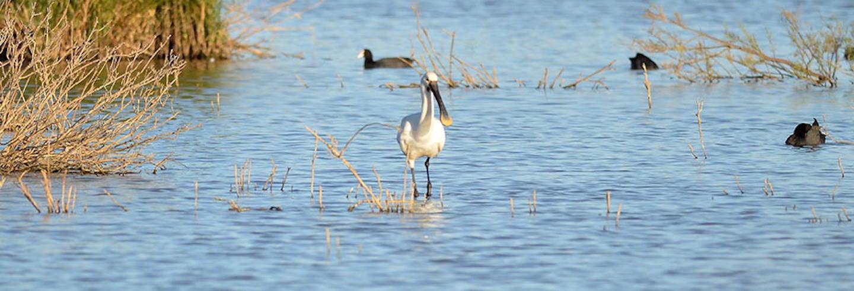 Birdwatching in Lagoa dos Salgados