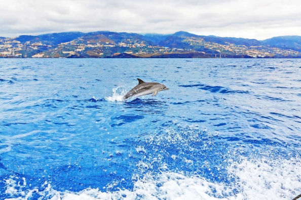 Dolphin swimming off the coast of Madeira