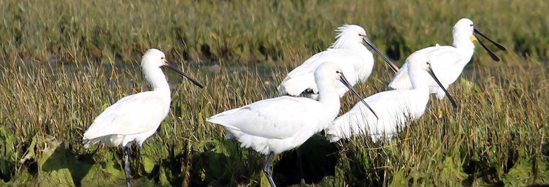 Avistamento de aves na Ria Formosa