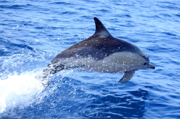 Dolphin playing alongside the boat