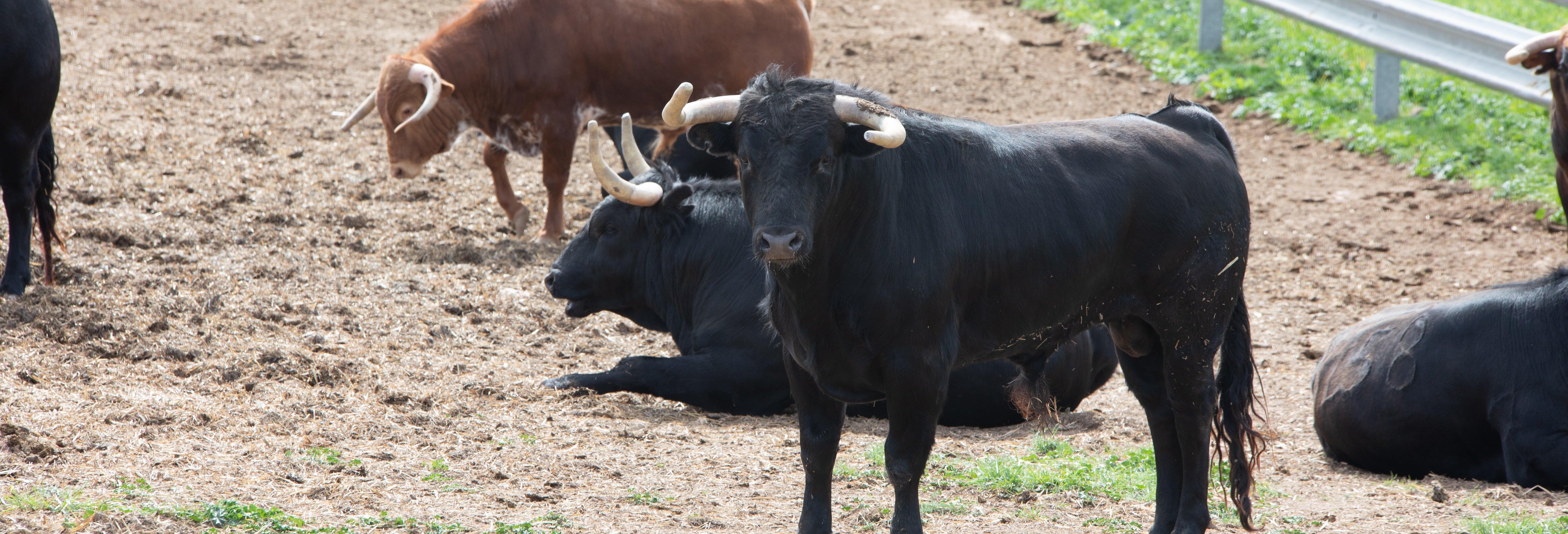 Visita a uma fazenda de touros bravos