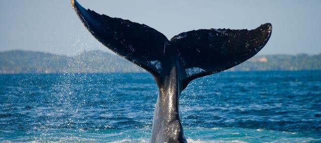 Avistamiento de ballenas en Samaná