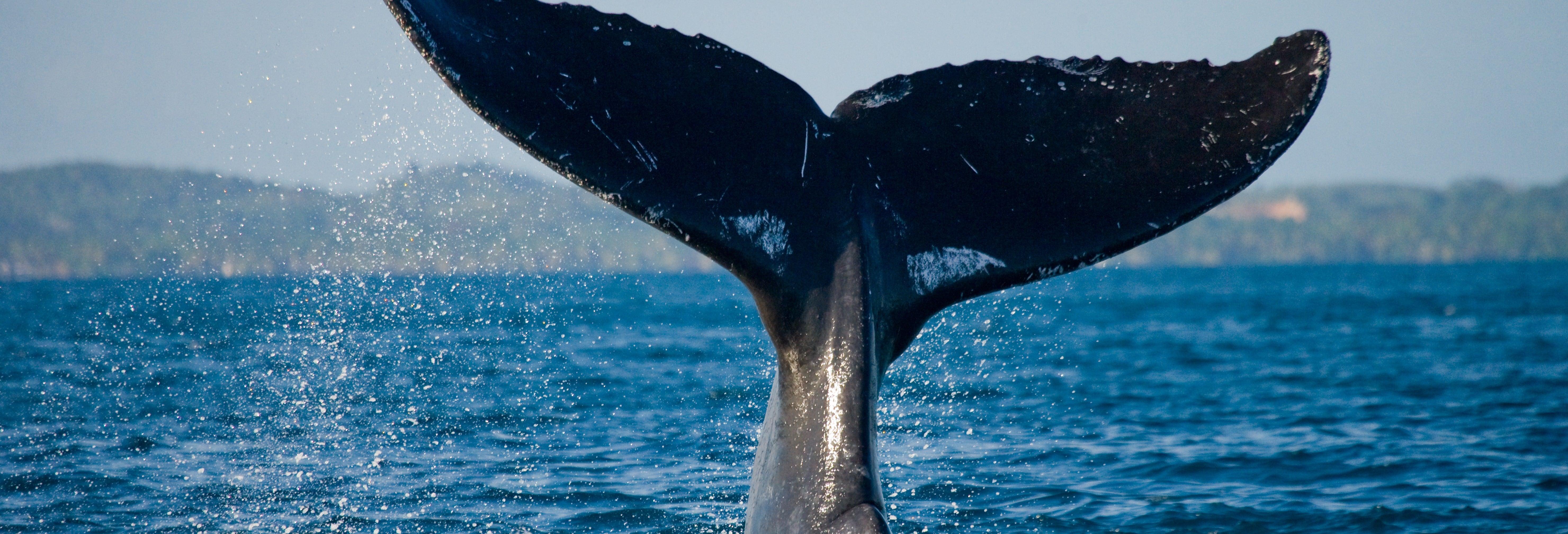 Avistamento de baleias em Samaná