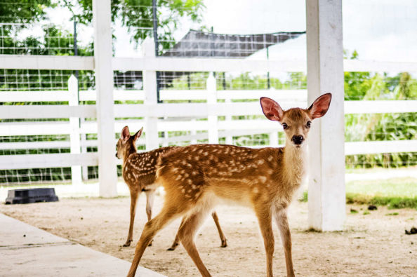 Baby deers at the Xploration Animal Encounter