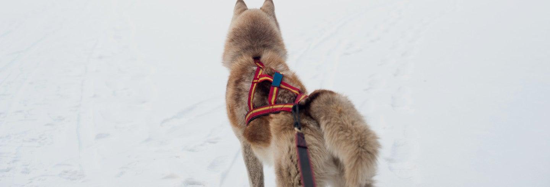 Giro in slitta trainata da husky