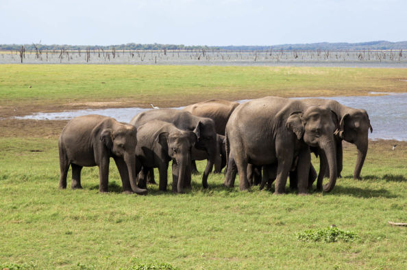 Elephants in the National Park of Kaudulla
