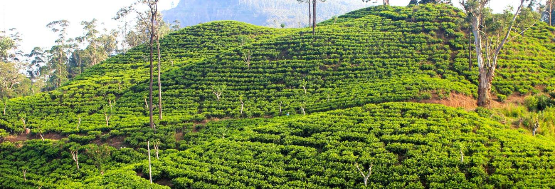 Visita a la fábrica de té Halpewatte