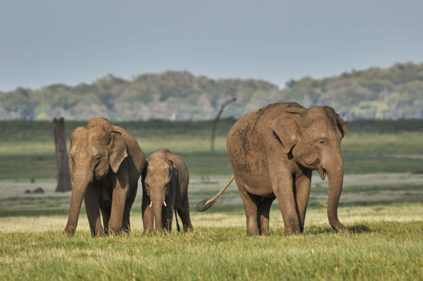 A family of elephants in Kaudulla National Park