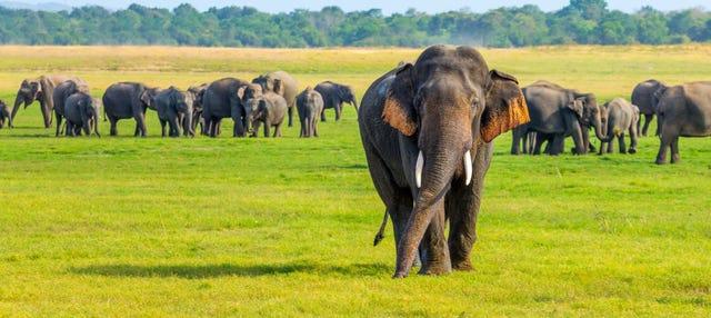 Safari por el Parque Nacional de Minneriya