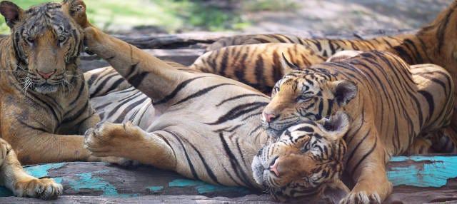 Excursion au Sriracha Tiger Zoo