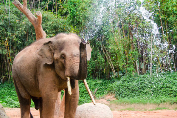 Elephant spraying water from its trunk