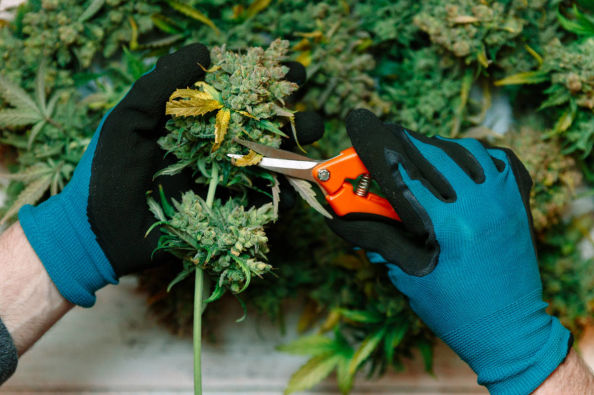 The cultivation of cannabis